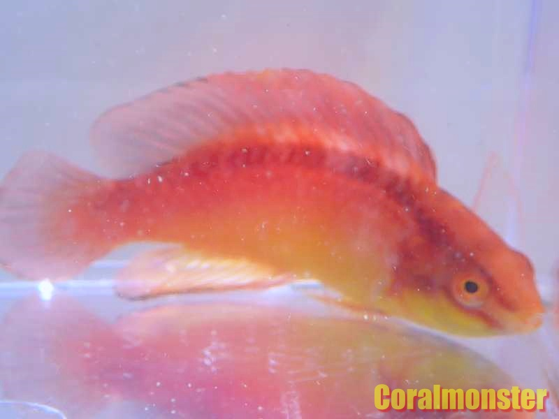 ハワイアンフレームラス(♂)Cirrhiabrus jordani B