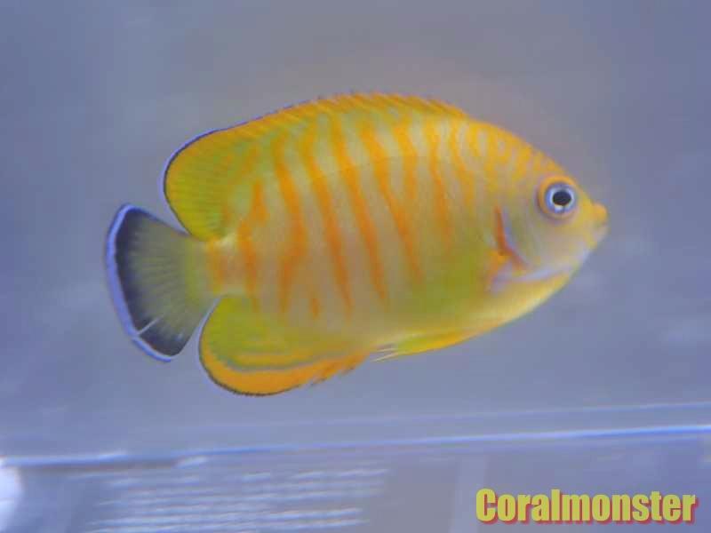 タイガーレモンピール C.flavissima×C.eibli 5cm