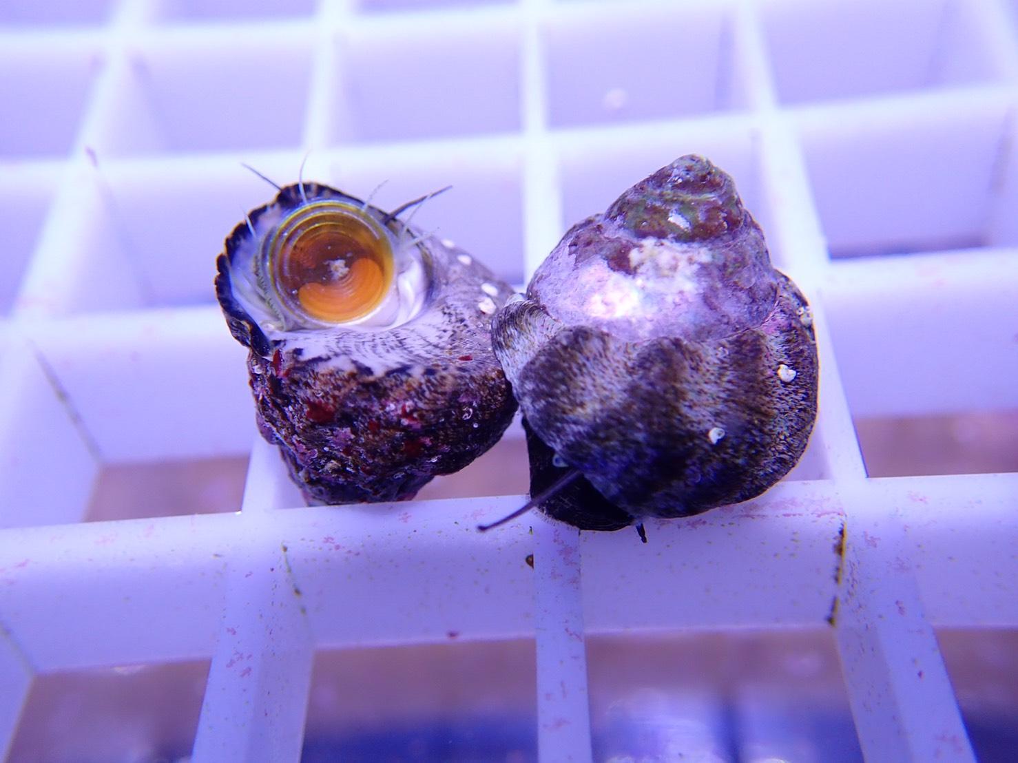 ミニシッタカ貝 5匹