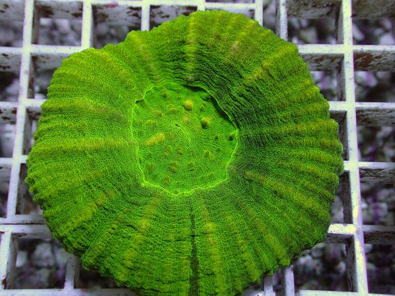 【Green】スコリミア オーストラリア産 24 N