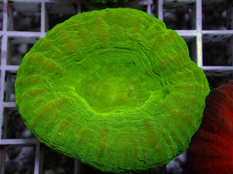 【Green】スコリミア オーストラリア産 25 N