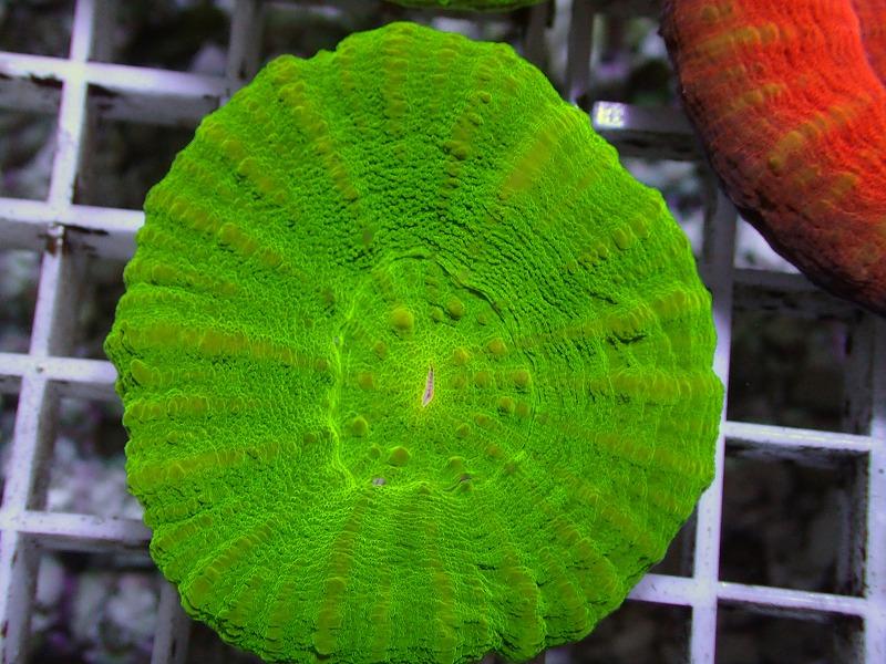 【Green】スコリミア オーストラリア産 26 N