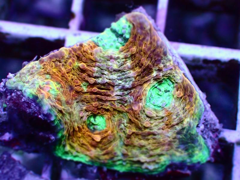 キクメイシ(Multi color) 65