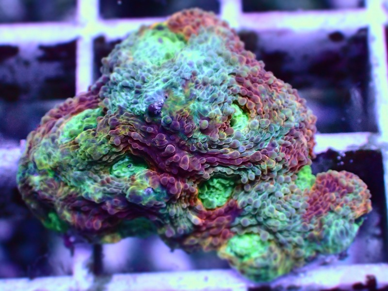 キクメイシ(Multi color) 76