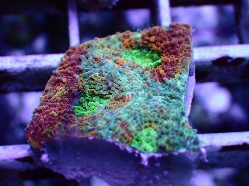 キクメイシ(Multi color) 81