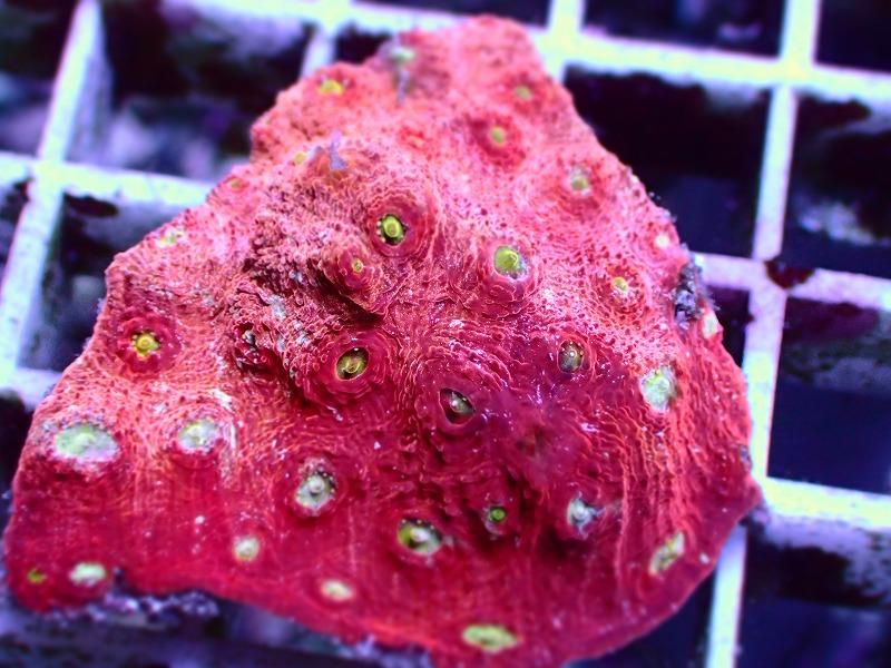 キクメイシ(Pink Red) 93