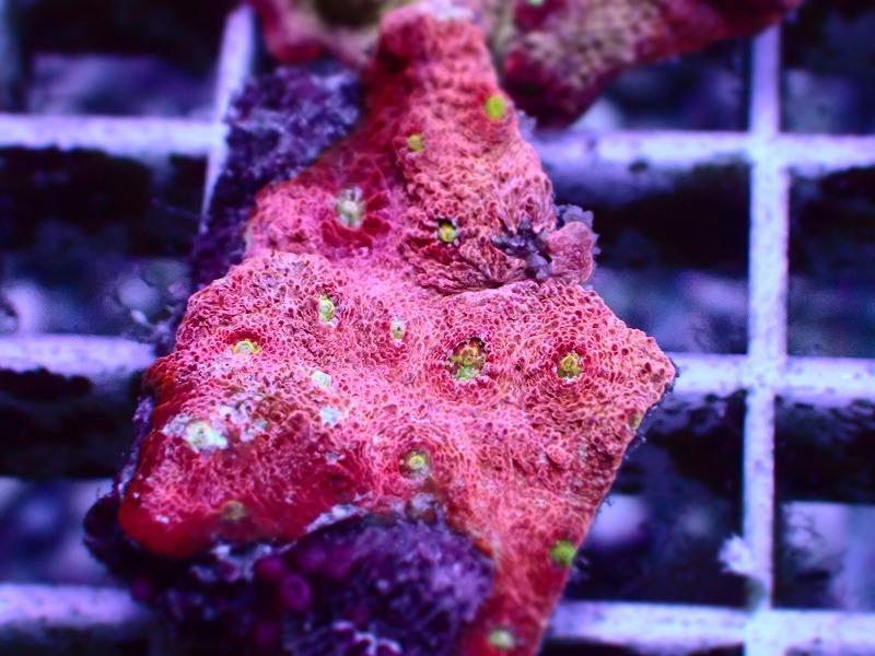 キクメイシ(Pink Red) 94