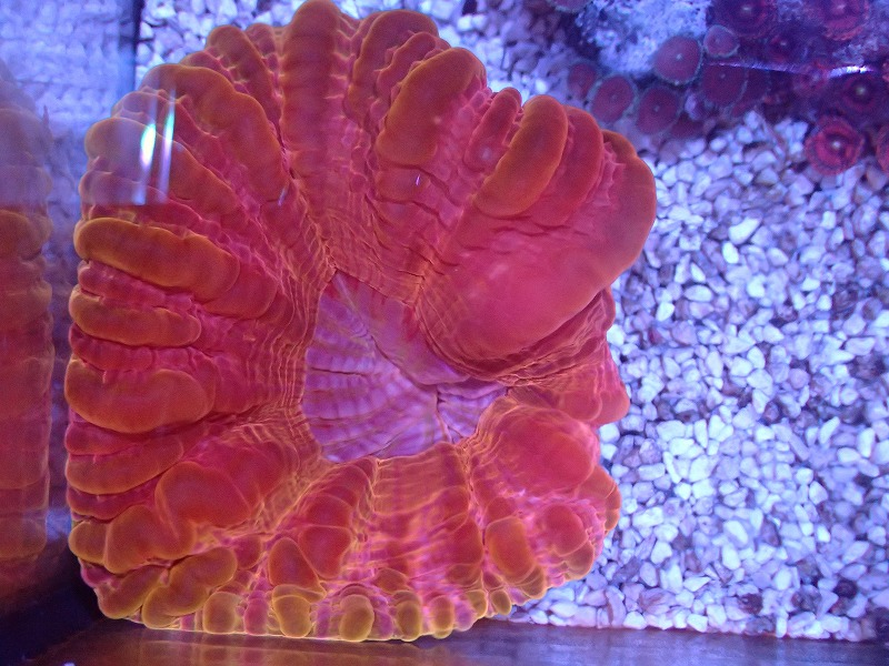 コハナガタサンゴ(オレンジ・Red)インドネシア産 09