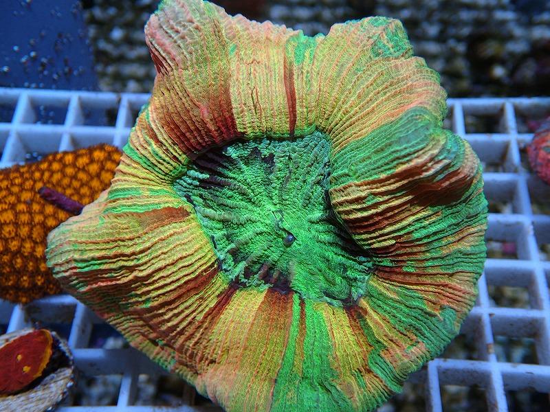 ブレインコーラル(Special color) ジャワ産
