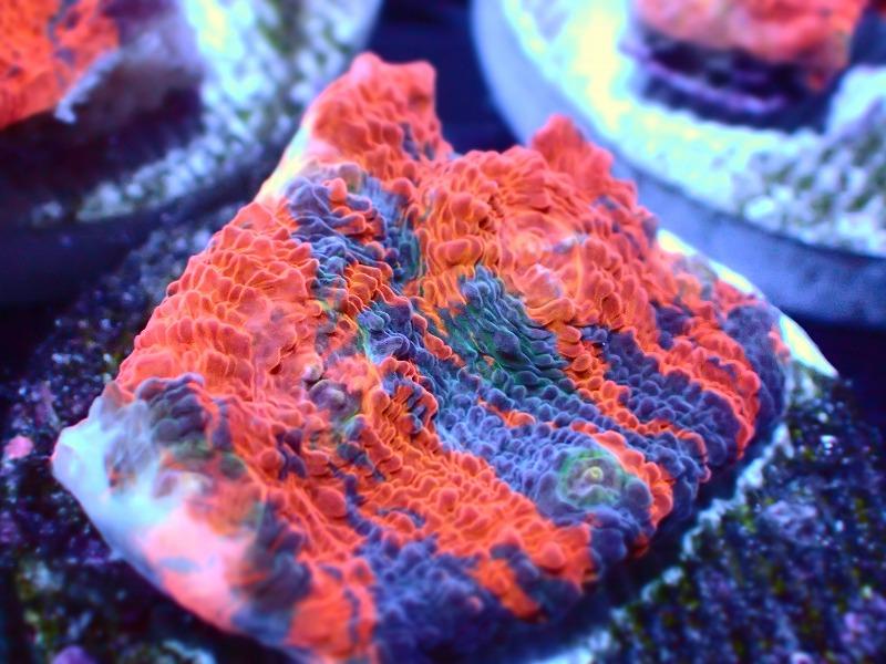 キッカサンゴ(Orange) 50