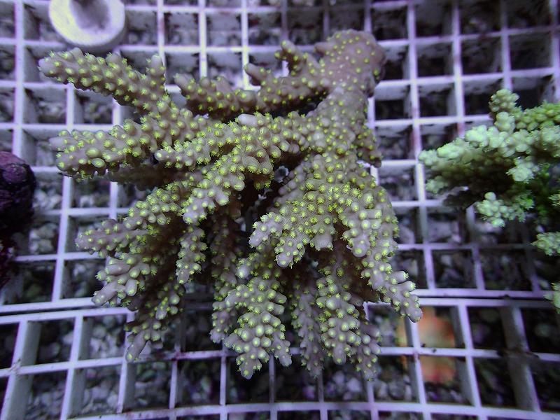 オージーミドリイシ(スゲミドリイシ) オーストラリア産 12 N