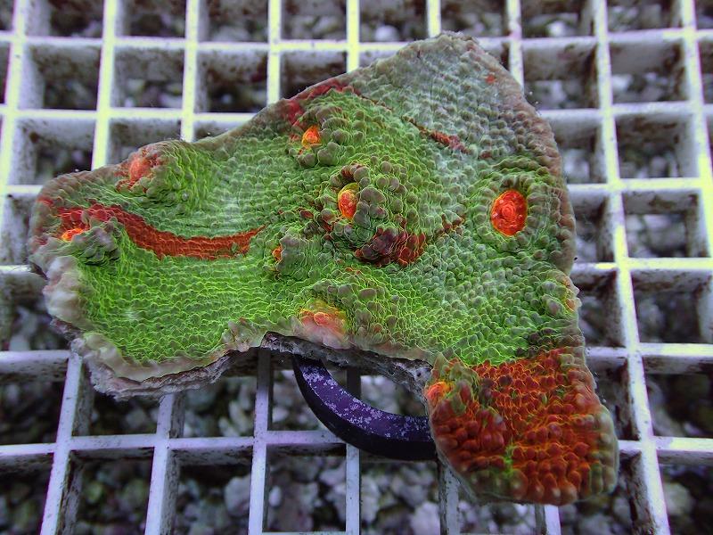オージーキッカサンゴ(Multi color) 21 N