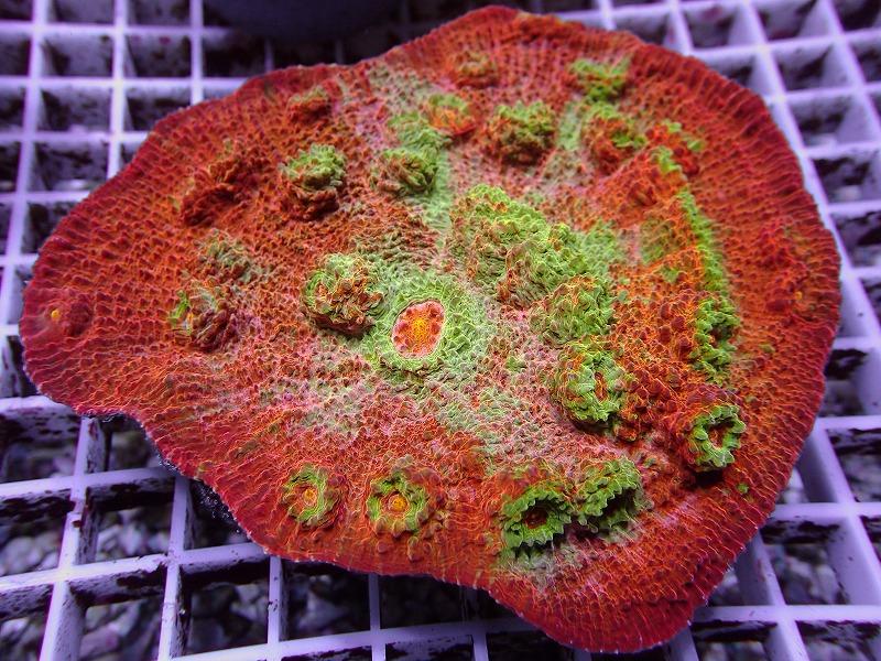 オージーキッカサンゴ(Multi color) 28 N