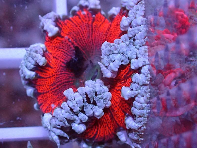 ファンシーロックアネモネ(Ultra color) カリブ産 42