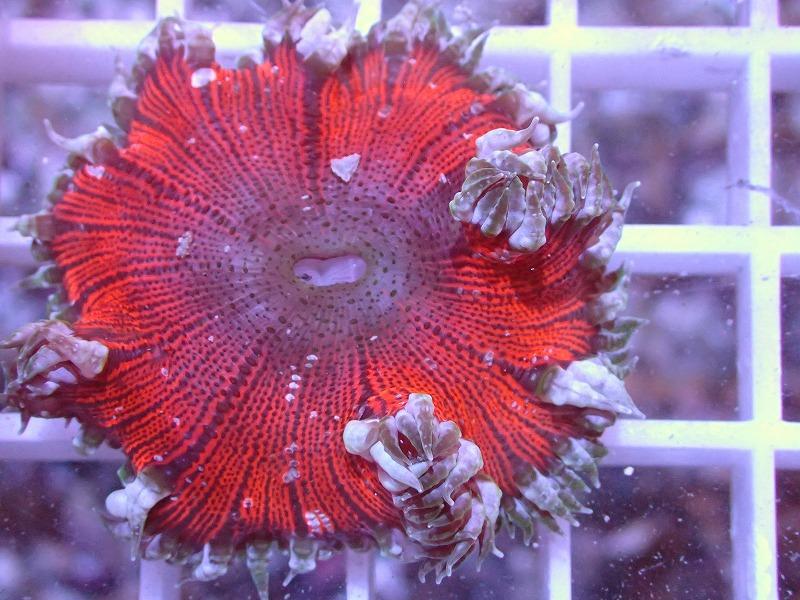 ファンシーロックアネモネ(Ultra color) カリブ産 44