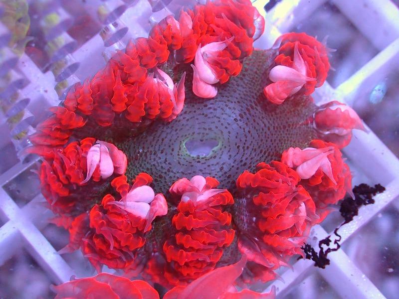 ファンシーロックアネモネ(Red) カリブ産 46