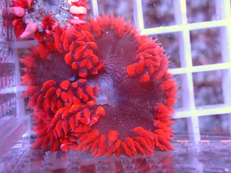 ファンシーロックアネモネ(Red) カリブ産 48