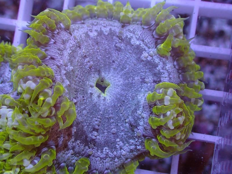 ファンシーロックアネモネ(Yellow green) カリブ産 50