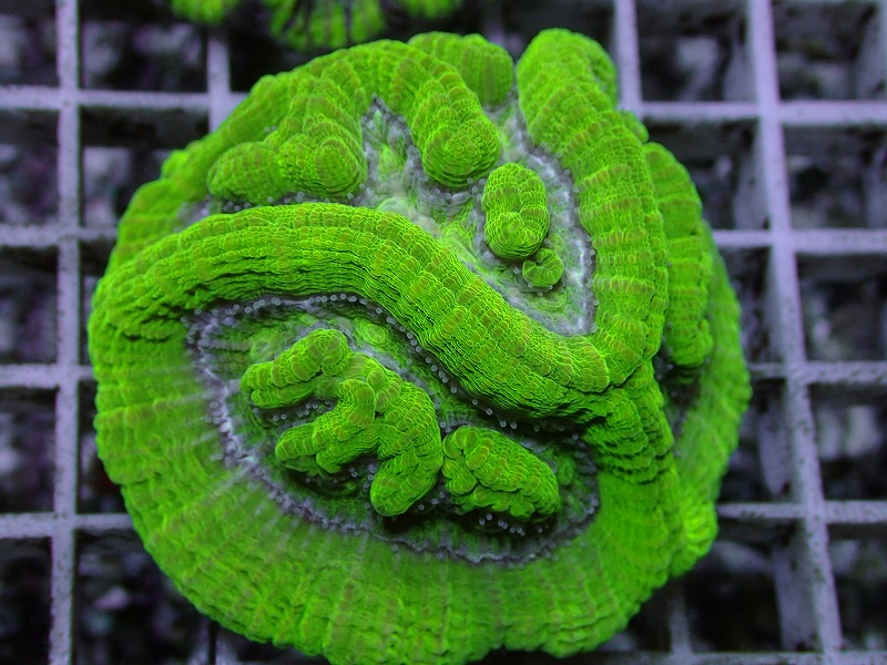 ウィルソニ(Metallic green) オーストラリア産 03 B