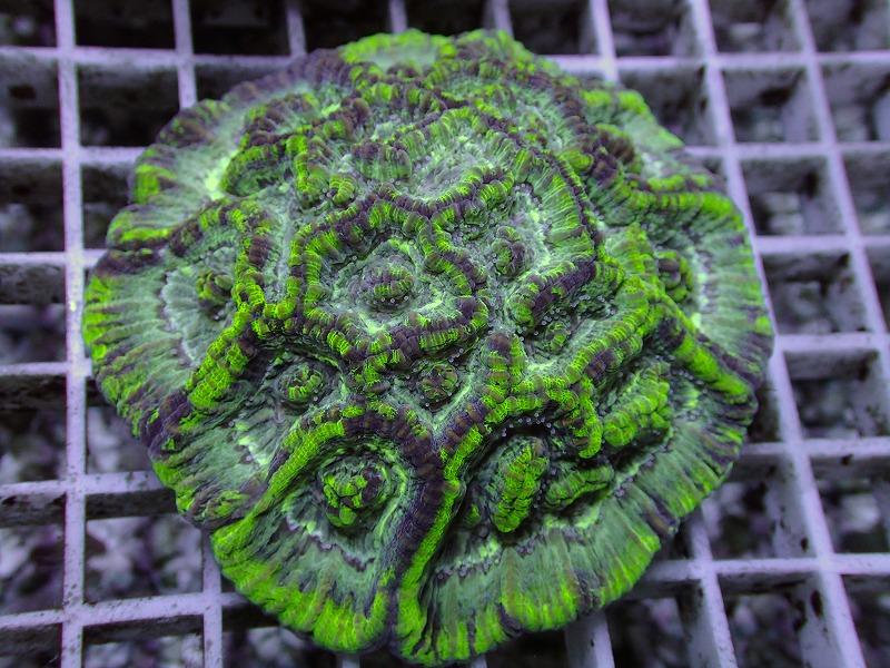 ウィルソニ(Metallic green) オーストラリア産 04 B