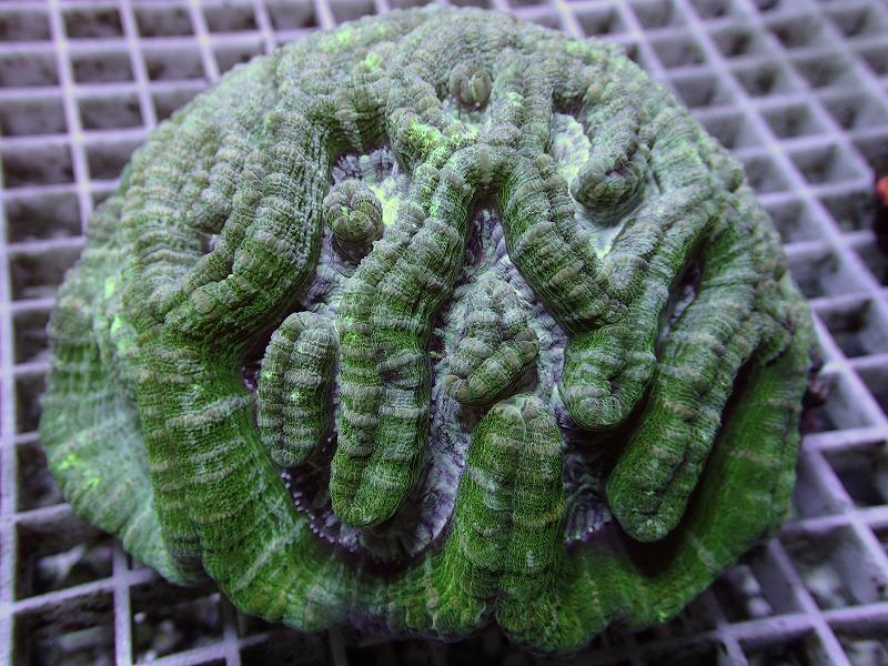 ウィルソニ(Metallic green) オーストラリア産 05 B
