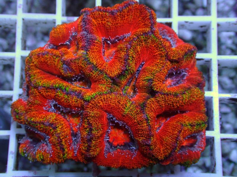 オージーカクオオトゲキクメイシ(Rainbow) オーストラリア産 07