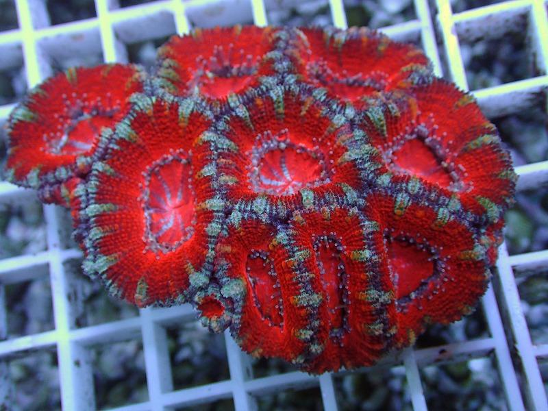 オージーカクオオトゲキクメイシ(Aussie color) オーストラリア産 13