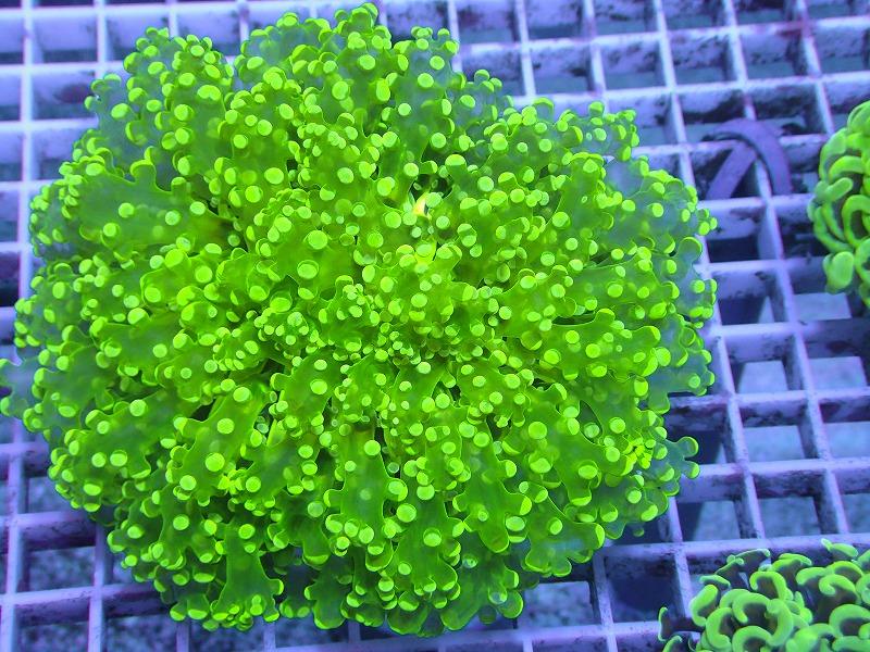 ホンタコアシサンゴ(Full green) 01