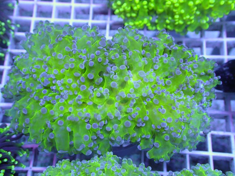 ホンタコアシサンゴ(Clear green) 02
