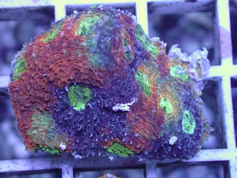 キクメイシ(Multi color) 83