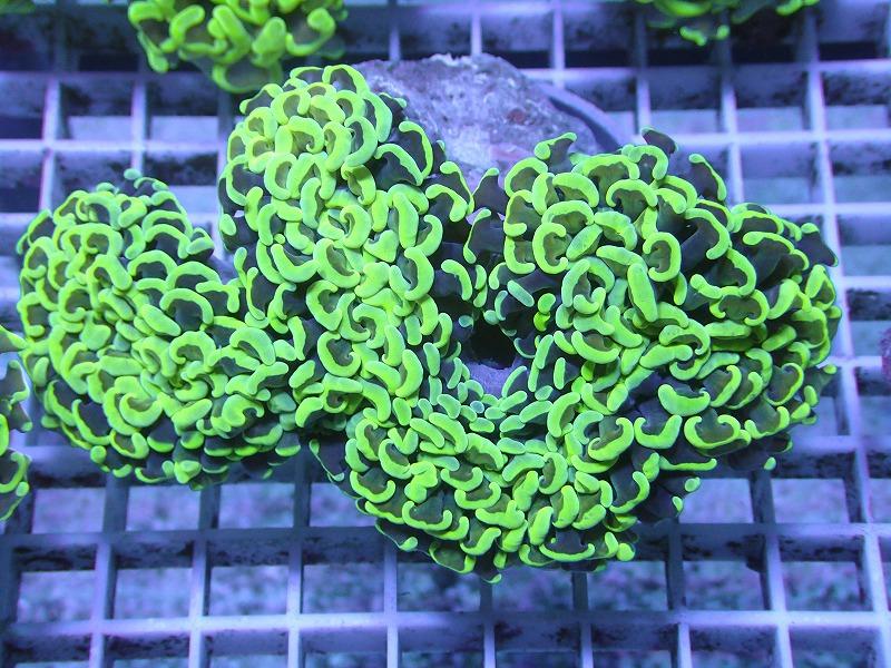 ナガレハナサンゴ(Metallic green) 36