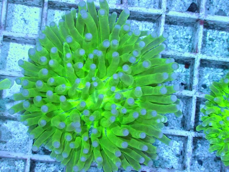 パラオクサビライシ(Metallic green) 06