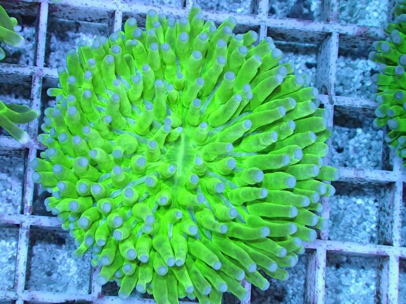 パラオクサビライシ(Metallic green) 09