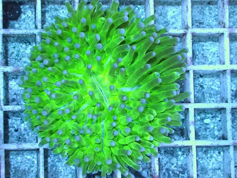 パラオクサビライシ(Metallic green) 10