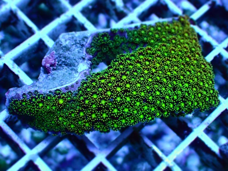 ハナガササンゴ(Goniopora) インドネシア産 15