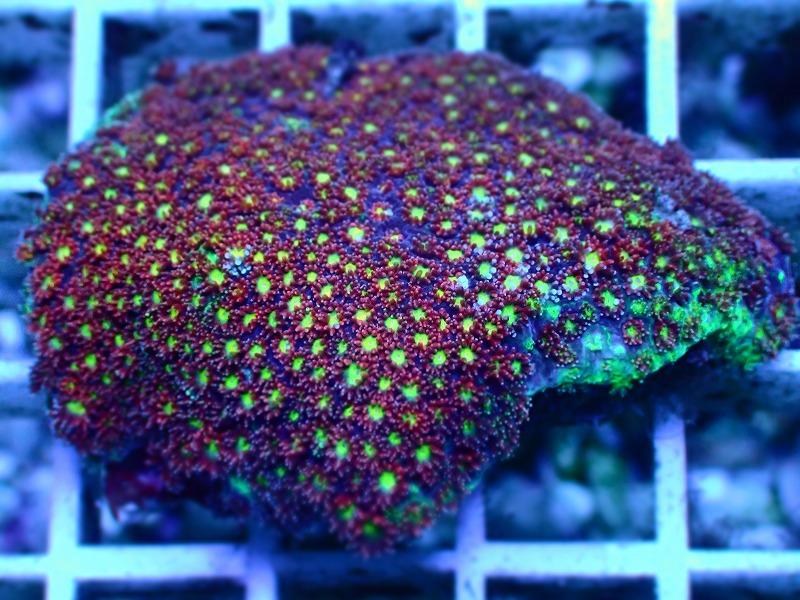 ハナガササンゴ(Goniopora) インドネシア産 16