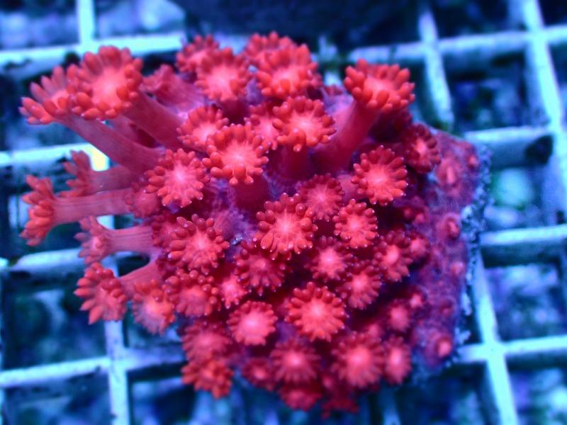 ハナガササンゴ(Goniopora) インドネシア産 17