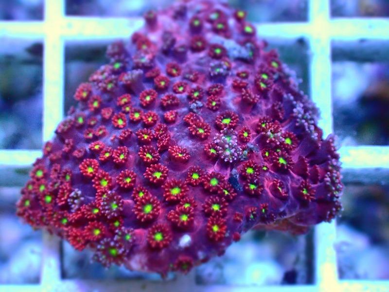 ハナガササンゴ(Goniopora) インドネシア産 05