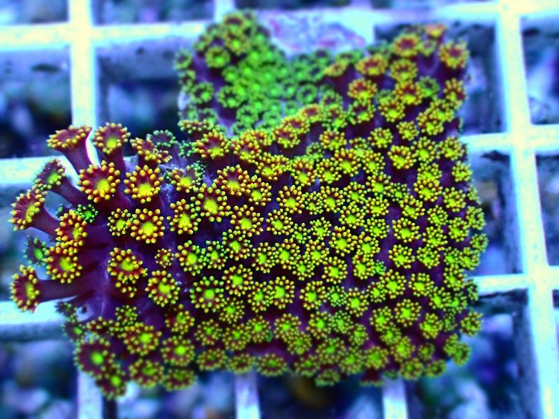ハナガササンゴ(Goniopora) インドネシア産 06
