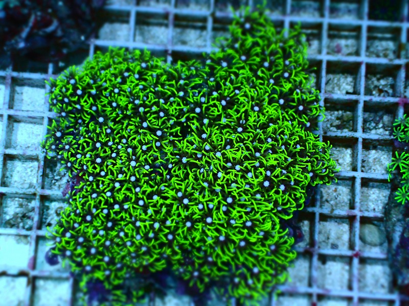 スターポリプ(Metalic green)ブリード インドネシア産 01
