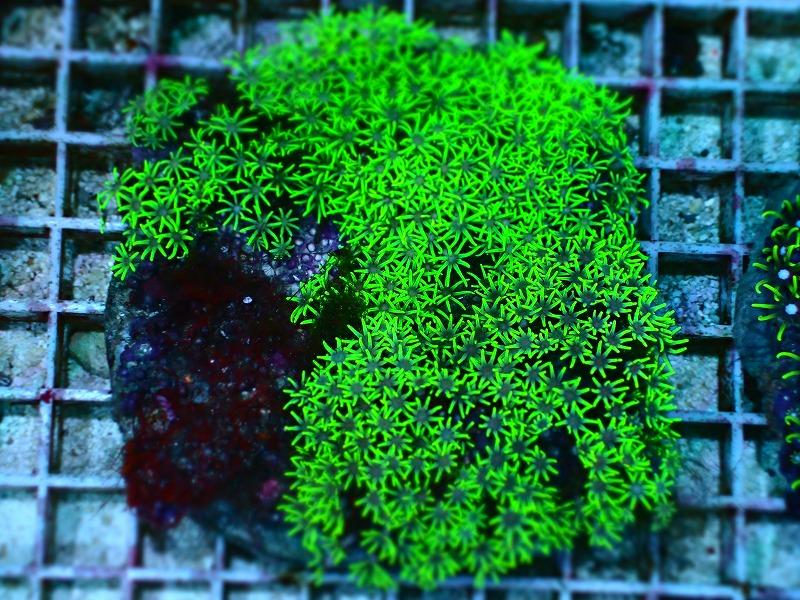 スターポリプ(Metalic green)ブリード インドネシア産 02