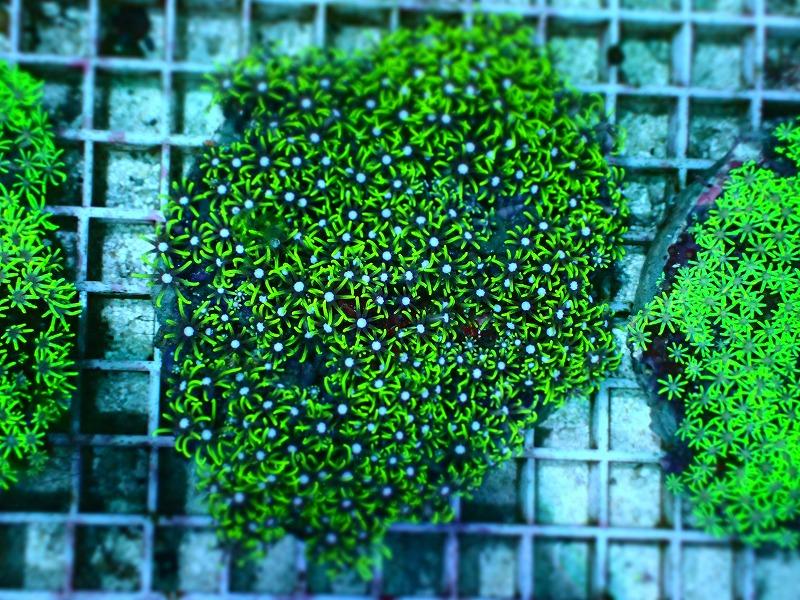 スターポリプ(Metalic green)ブリード インドネシア産 03