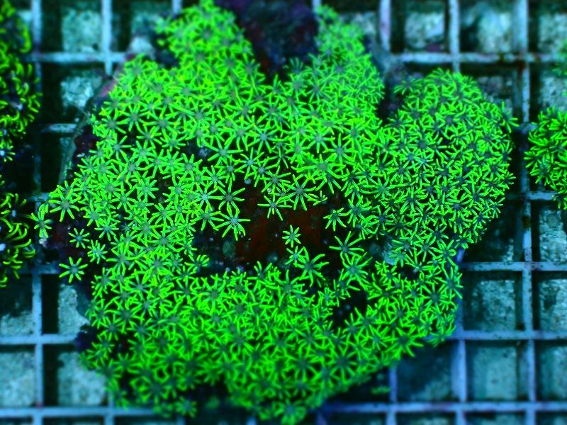 スターポリプ(Metalic green)ブリード インドネシア産 04