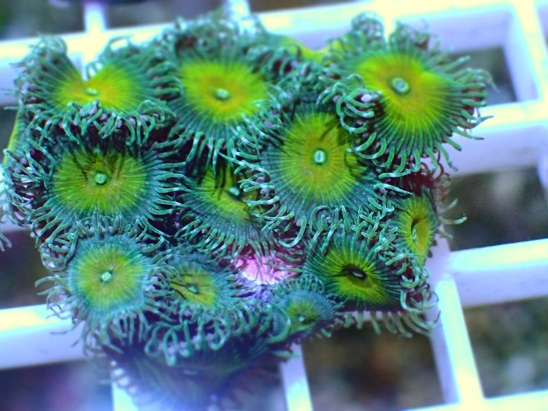マメスナギンチャクUSA【Nuclear Green 3P】 33