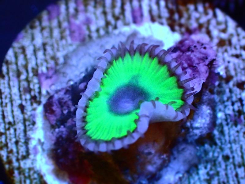 マメスナギンチャクUSA【Palyzoa Grandes 1P】 22