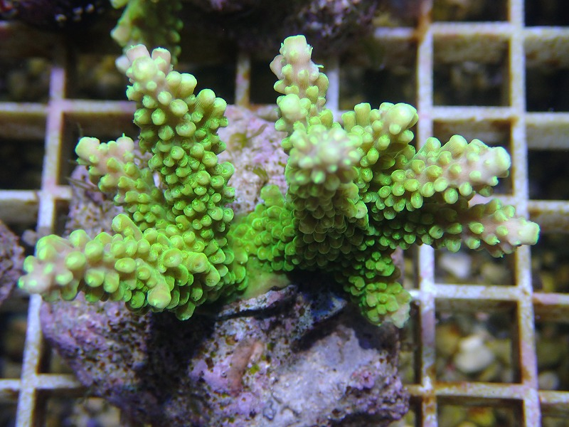 Bleeding Acropora 25