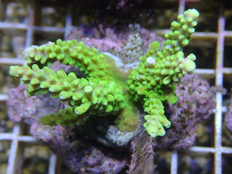 Bleeding Acropora 26
