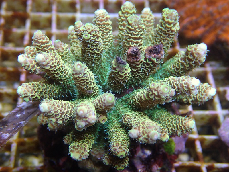 Bleeding Acropora 33