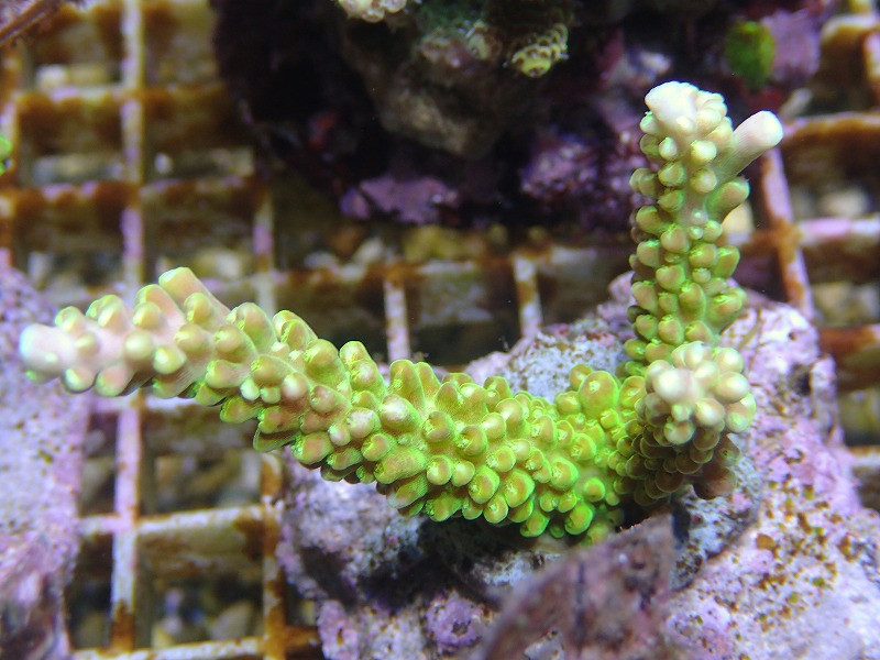Bleeding Acropora 34