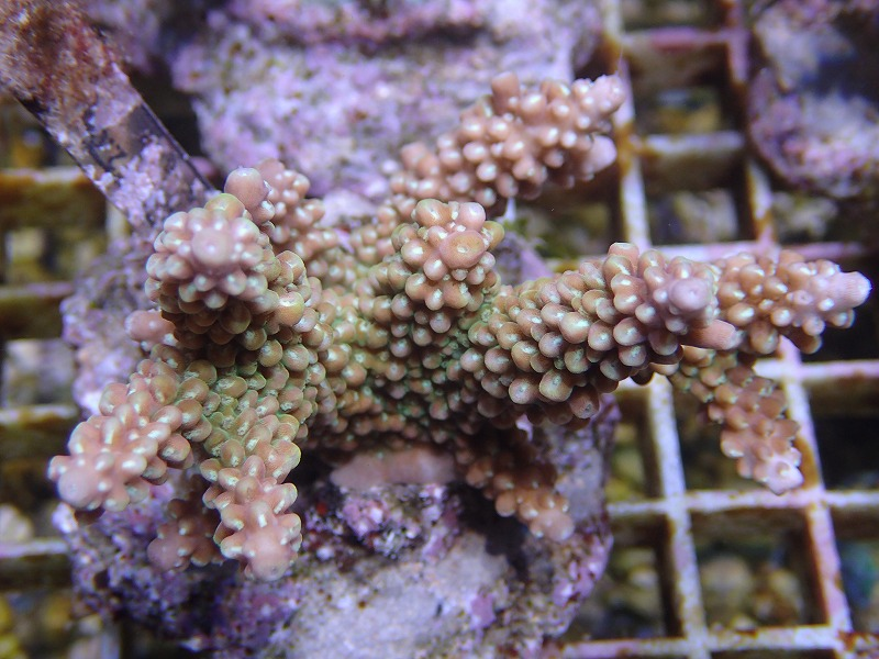Bleeding Acropora 36